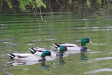 The Three Ducksketeers