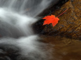 wThe Red Leaf1.jpg