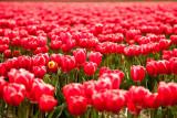 March (Tulip) Madness