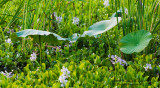 Three-Lilies-Water-Hyacinth.jpg