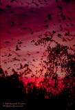 Blackbird-winter