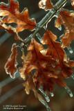 Ice-covered-oak-leaves
