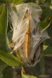 Milkweed02