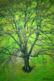 Spreading-Oak-Spring--Rain