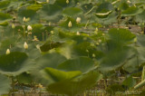 Storm-Tossed-Water-Lilies