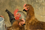 Hens and cockerel