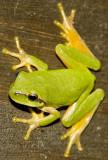 Reineta - Frog