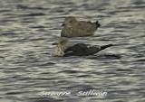 lesser black-back niles pond gloucester