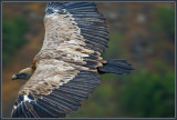 The biblical Griffon vulture, Gamla / Israel