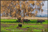 Buffalos in Hula