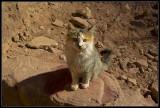 The holy cat of Petra - Jordan