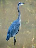 Great Blue Heron_1