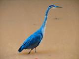 Great Blue Heron_2