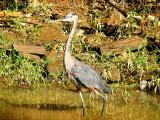 Great Blue Heron_3
