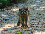 Racoon on Towpath