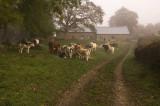 Cows at Glyn Farm
