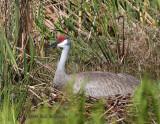Sandhill Crane On Nest 02.jpg