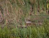 Sandhill Crane On Nest Wide View.jpg