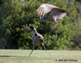 Sandhill Crane Mating Ritual.jpg