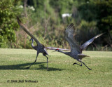 Sandhill Crane Mating Ritual 02.jpg