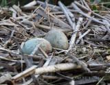 Sandhill Crane Two Eggs.jpg