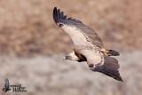 Adult Griffon Vulture