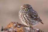 Adult Little Owl