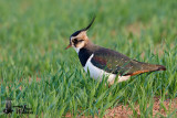 Adult Northern Lapwing in non-breeding plumage