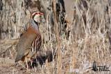 Adult Red-legged Partridge (presumably ssp.  intercedens )