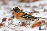 Male Brambling in non-breeding plumage