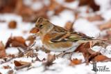 Female Brambling in non-breeding plumage