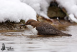 Adult White-throated Dipper