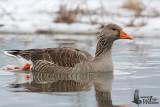 Adult Greylag Goose (ssp.  anser )