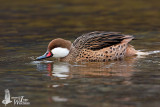 Adult White-cheeked Pintail