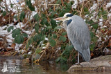 Adult Grey Heron (ssp.  cinerea )