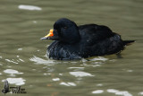 Adult male Common Scoter