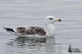 Immature Greater Black-backed Gull (second winter)