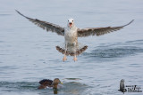 First winter Yellow-legged Gull harassing Common Eider