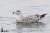 Immature European Herring Gull (probably second winter)