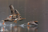Adult and immature Greater White-fronted Geese (ssp.  albifrons )