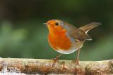 Adult European Robin