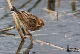 Female Common Reed Bunting in non-breeding plumage