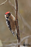 Adult male Lesser Spotted Woodpecker