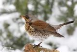 First winter Fieldfare