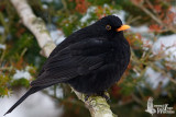 Adult male Common Blackbird