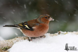 Adult male Common Chaffinch in non-breeding plumage