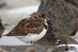 Immature Ruddy Turnstone in first winter plumage