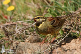 Adult male Cirl Bunting