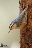 Adult female Corsican Nuthatch
