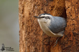 Adult male Corsican Nuthatch